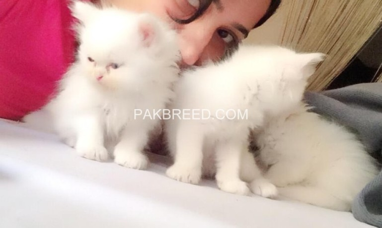 Persian kittens for sale, Lahore