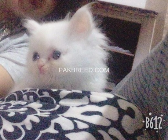 persian-kittens-for-sale-big-2