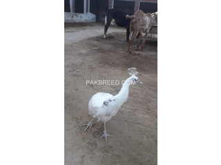 Peacock female for sale