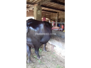 Good quality buffalo for sale