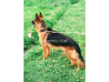 german-shepherd-small-1