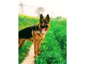 german-shepherd-small-0
