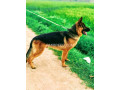 german-shepherd-small-2