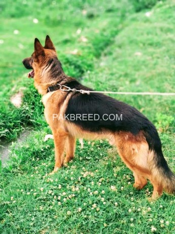 german-shepherd-big-1
