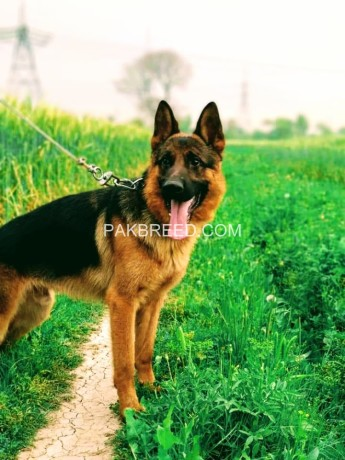 german-shepherd-big-0