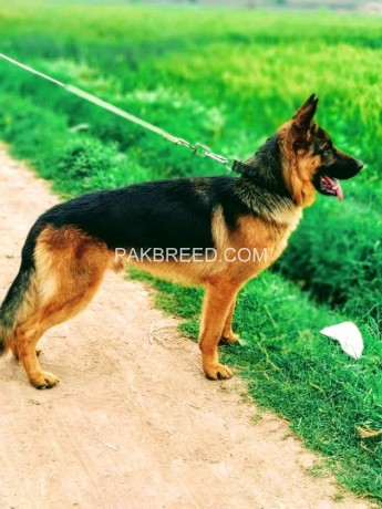 german-shepherd-big-2