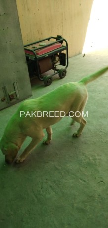 labrador-dog-for-sale-big-0