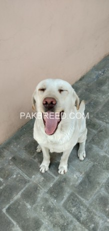 labrador-dog-for-sale-big-2