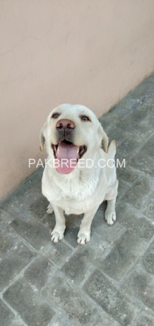 labrador-dog-for-sale-big-1