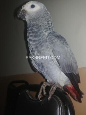 african-grey-parrot-big-1