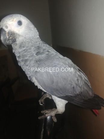 african-grey-parrot-big-2