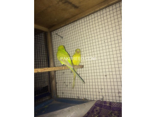 Budgies for sale or exchange with common lutino