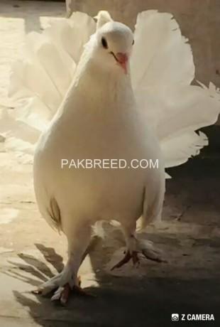 white-indian-10-kali-breeder-pair-big-1