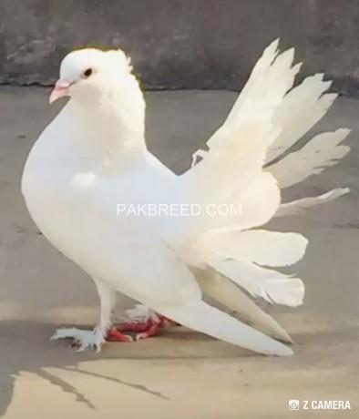 white-indian-10-kali-breeder-pair-big-2