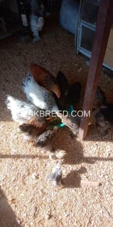 brahma-chicks-big-1