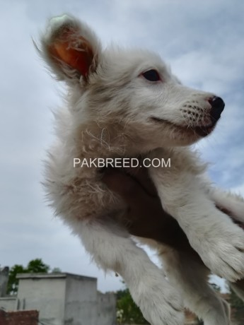 russian-long-coat-male-puppy-25-months-old-big-0