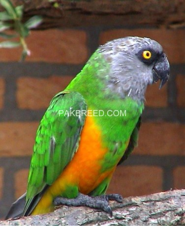 senegal-parrots-big-0