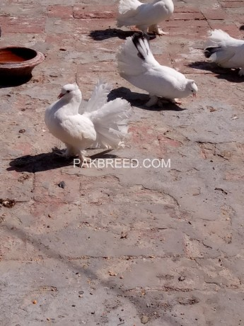 white-indian-10-kali-breeder-pair-big-2