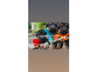 Top quality German Shepherd pups available