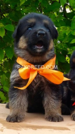 top-quality-german-shepherd-pups-available-big-1