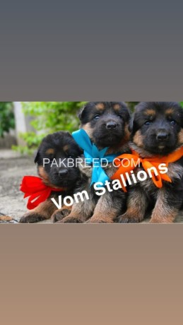 top-quality-german-shepherd-pups-available-big-0