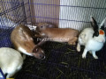 3-pair-rabbits-for-sale-small-1