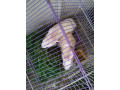 3-pair-rabbits-for-sale-small-0