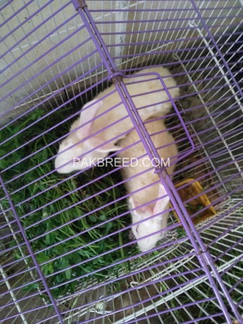 3-pair-rabbits-for-sale-big-0