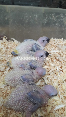 sun-conore-chicks-available-big-0