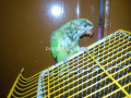 green-ringneck-baby-small-2