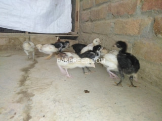 Aseel chicks age 2 months