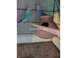 Crested Budgies