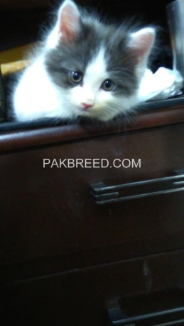 persain-black-and-white-kitten-big-0