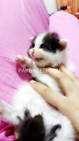 persain-black-and-white-kitten-big-1