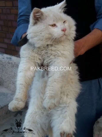 pure-persian-cat-for-sale-big-0