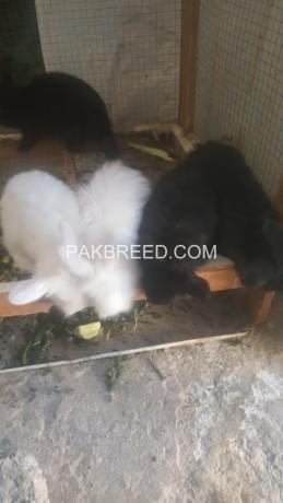 fancy-angora-rabbits-big-2
