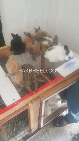 fancy-angora-rabbits-big-1