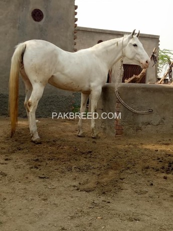 horse-for-sale-big-2
