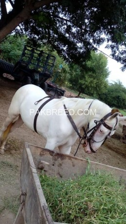 horse-for-sale-big-1
