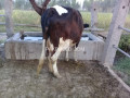 friesien-cow-for-sale-small-1