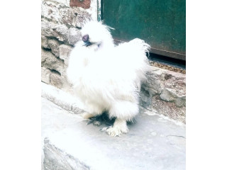 White silkie for sale