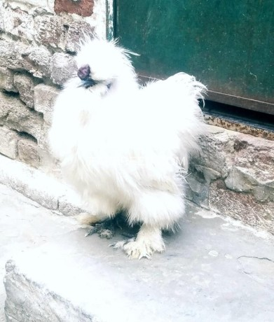 white-silkie-for-sale-big-0