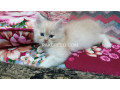 kittens-for-sale-small-1