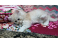 kittens-for-sale-small-2