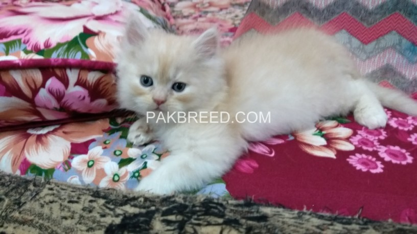kittens-for-sale-big-1