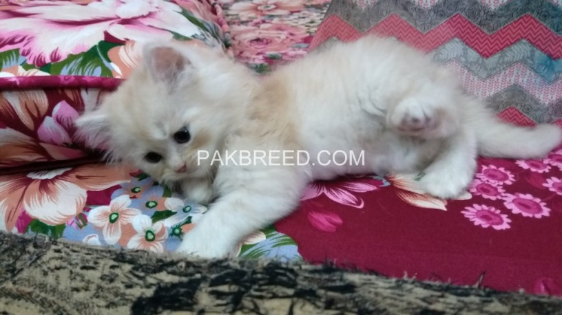 kittens-for-sale-big-2