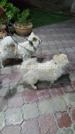 pure-russian-samoyed-breeder-pair-big-0