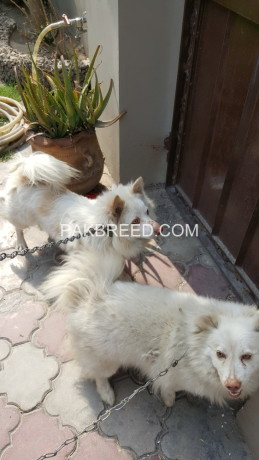 pure-russian-samoyed-breeder-pair-big-3