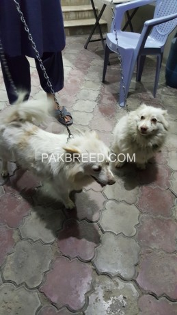 pure-russian-samoyed-breeder-pair-big-1