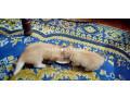 persian-female-kitten-small-0